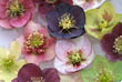 Hellebores floating in a Bowl of Water