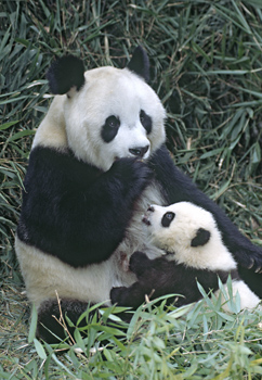 Mother and Baby Giant Panda, China