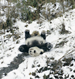 Giant Panda sliding on Snow
