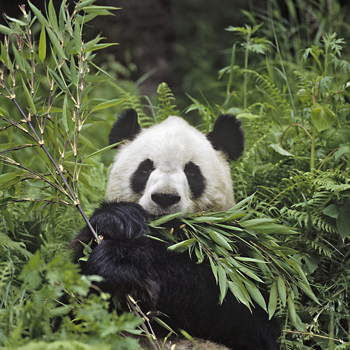 Giant Panda feeding on Bamboo, China
