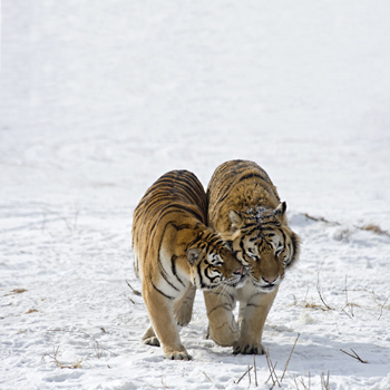 Courting Siberian Tigers