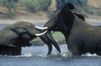 Male Elephants fighting