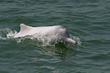 Pink Dolphin swimming in Hong Kong Waters