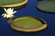Giant or Amazon Water Lily, Victoria Amazonica