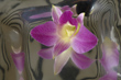 Orchid Reflection by Window Light