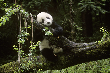 One-Year Old Giant Panda