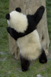 Giant Panda Cub hugging a Tree, China