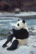 Giant Panda beside a River, China