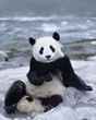 Giant Panda sits beside a River, China