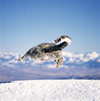 Snow Leopard Leaping