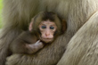 Mother clasps newborn Japanese Macaque