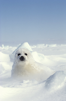 Harp Seal Cub Blinds Creatively Different