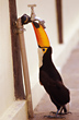 Toco Toucan drinking from a Tap