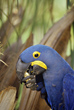 Hyacinth Macaw eating a Nut - Pantanal