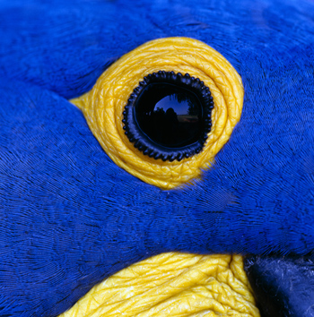 Eye of a Hyacinth Macaw
