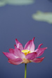 Lotus Lily Flower