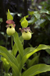 Slipper Orchids - Cypripedium Flavum