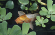 Koi Carp with Water Lettuce