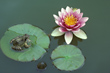 Frog on Water Lily Pad