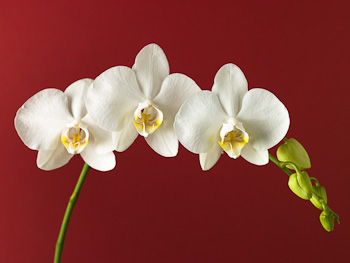 White Orchid on Red