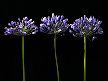 Agapanthus - African Lily - on Black