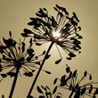Backlit Silhouette of Agapanthus