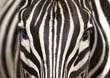 Face of Zebra