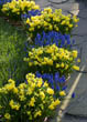 Spring Containers with Muscari Armeniacum and Narcissus 'Tete-a-Tete'