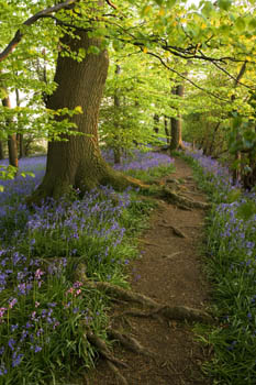 Bluebell Wood in Evening Light