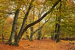 Autumnal Beech Avenue, Ashridge Estate, Berkhamsted Common