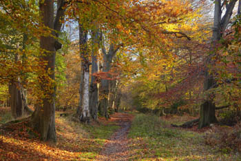 Pathway through Autumnal Woodland, Berkhamsted Common