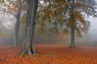 Misty Autumn Beech Trees - Box Hill, Surrey