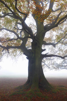 Beech Tree shrouded in Autumn Mist