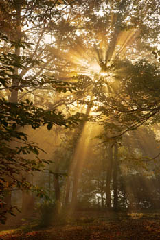 Misty Sunlight - Winkworth, Surrey