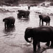 Elephants at the River (1)