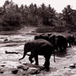 Elephants by the River (2)