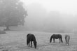 New Forest Ponies - Hampshire