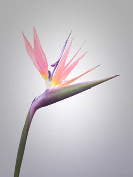 Pink Strelitzia on Light Background
