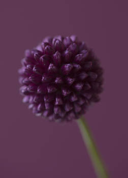 Allium Sphaerocephalon - Round-headed Leek