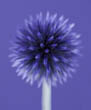 Echinops Ritro 'Veitch's Blue' on Blue/Purple Background