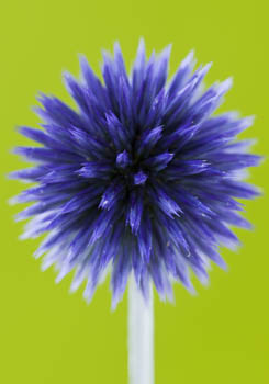 Echinops Ritro 'Veitch's Blue' on Lime Green Background