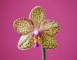 Phalaenopsis Orchid on Pink
