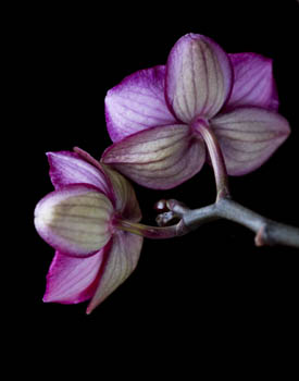 Flowers of Doritaenopsis Orchid