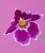 Pansy Orchid - Miltoniopsis (South America) on Pink