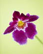 Pansy Orchid - Miltoniopsis (South America) on Pale Yellow