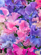Mixed Sweet Peas (3)