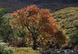 Rowan Tree, Glen Shiel, Kintail, Highlands, Scotland