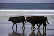 Cattle on Beach, Bay of Laig, Isle of Eigg, Hebrides