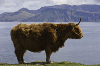 Highland Cow Portrait, Isle of Canna, Hebrides, Scotland