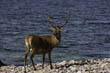 Red Deer Stag, Bloodstone Bay, Isle of Rum, Scottish Highlands